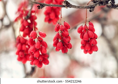Ripe red barberry berries Berberis Vulgaris branch, autumn, snowy white background. Closeup.