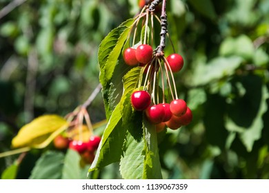 Ripe red cherries hanging on a branch in a cherry tree