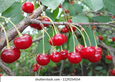 Ripe red cherries on a branch. Harvest from a home garden.