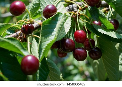 Ripe red cherries on a cherry tree in summer