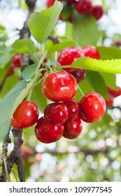 Ripe red cherries on the tree.