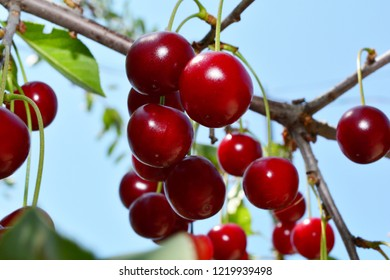 ripe red cherry on a branch with green leaves