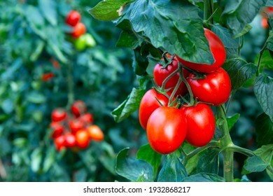 Ripe red cherry tomatoes hanging on vine on green bushes in garden, close up view