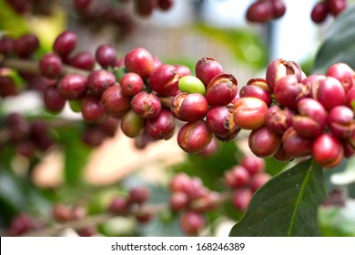Ripe red coffee beans on the tree