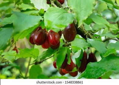 Ripe red cornelian cherries also cornel or dogwood in autumn garden. Dogwood berries are hanging on branch of Cornelian Cherry Dogwood