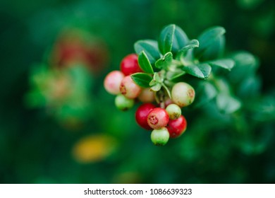 Ripe red cowberry isolated on nature green background. Wild northern berries.Bears edible fruit, pine Forest and Arctic tundra