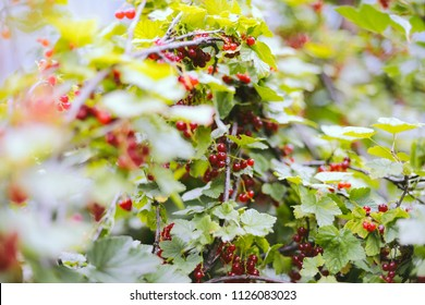 Ripe red currant berries on a branch in the garden.