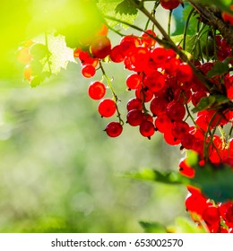 Ripe red currant berries in the sun, close-up