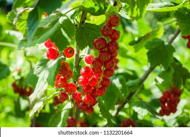 Ripe red currants. Bush of red currant in the garden