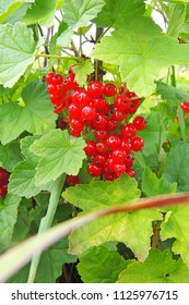 Ripe red currants close- up as background.