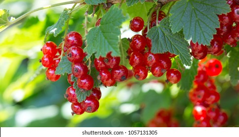 Ripe red currants close-up as background.