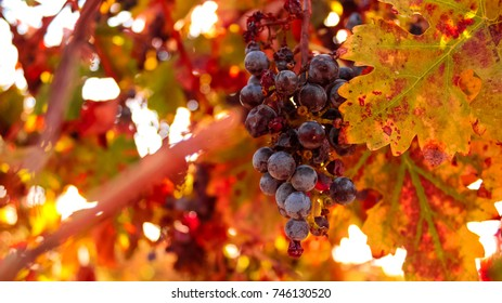 Ripe red grape vine, grape leaves on the background