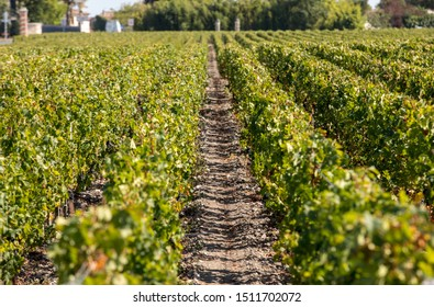 Ripe red grapes on rows of vines in a vienyard before the wine harvest in  Margaux appellation d'origine contrôlée of the Bordeaux region of France