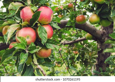 Ripe red honeycrisp apples on an apple tree in an orchard in Nova Scotia.