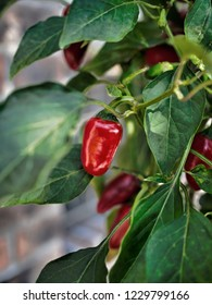 Ripe red hot pepper Jalapeno Early, Capsicum annuum on the bush.