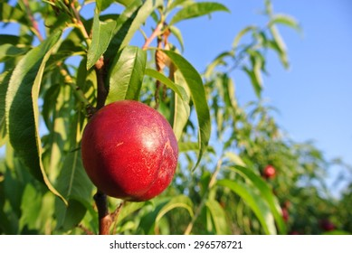 Ripe red juicy nectarines on the tree in an orchard, on a sunny summer afternoon. Concept of organic farming; fresh, natural, healthy, unprocessed fruit.