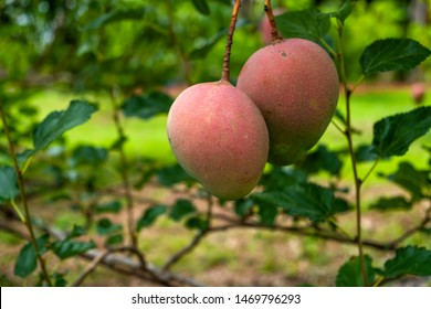 Ripe red mangoes hanging on the tree in an orchard with green background.