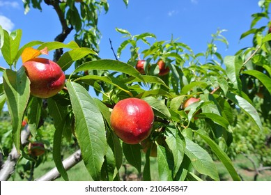 Ripe red nectarines hanging from a tree. Concept of organic farming; fresh, natural, unprocessed fruit.