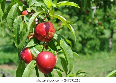 Ripe red nectarines on the tree in an orchard on a sunny day. Concept of organic farming; fresh, natural, healthy, unprocessed fruit.