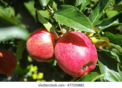 Ripe red organic apples on the tree in Provence, harvest in France