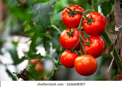Ripe red organic tomato in greenhouse. Beautiful heirloom tomatoes - Shutterstock ID 1636608307