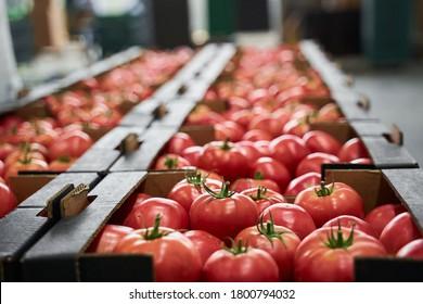 Reife rote und rosafarbene Tomaten in Pappschachteln, die in einer Gemüseverarbeitungsanlage gelagert werden