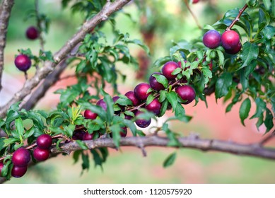 ripe red plums fruit on a tree branch in the orchard