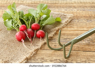 Ripe red radish on sackcloth with a rake on the old wooden boards. Spring harvesting of vegetables in the garden.