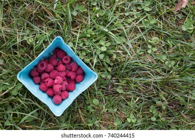 Ripe red raspberries at a pick your own farm.