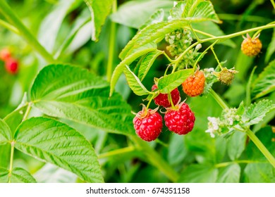 Ripe red raspberry berries on a branch in nature among the feathers of the crimson bush