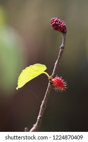 Ripe red raspberry on a branch, macro photography