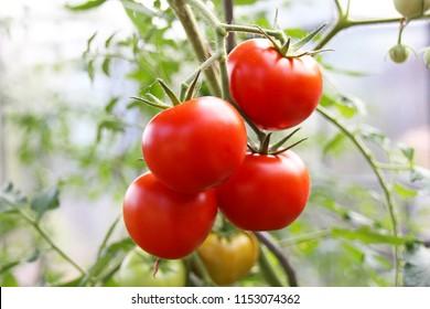 Ripe red tomato plant