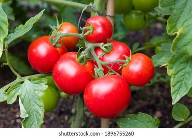 Tomates rojos maduros que crecen en una vid en un huerto, Inglaterra, Reino Unido