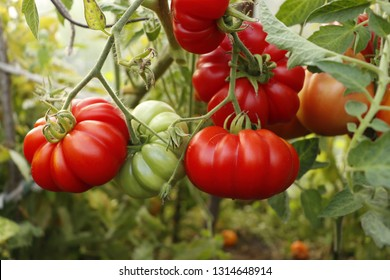Ripe red tomatoes on a branch