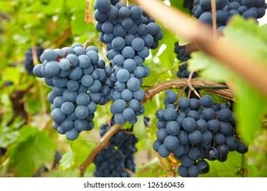 Ripe red vine grapes in German vineyard in fall