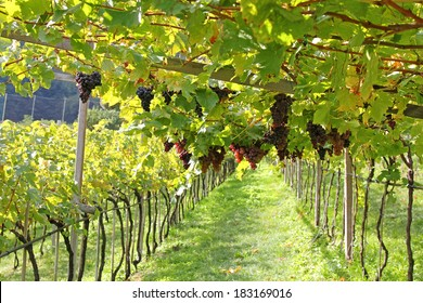 Ripe red wine grapes hanging from grapevines in Trentino-Alto Adige vineyard, wine making area in Italy, Europe