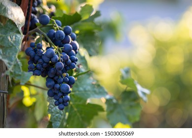 Ripe red wine grapes at sunset