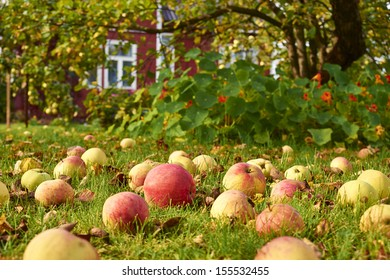 Ripe red and yellow apples on the grass in the garden