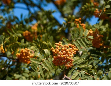 Ripe red-orange rowan berries close-up growing in clusters on the branches of a rowan tree. High quality photo