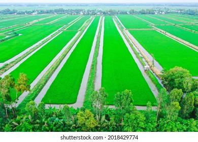Ripe rice fields in the west