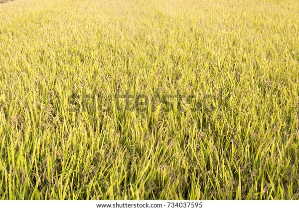 Ripe riceOctober 4, 2017 in a village in Korea. It was autumn and I could see ripe rice.