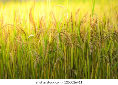 Ripe rice paddy field. Closeup of yellow paddy rice field with golden sun rising in autumn. High-quality free stock image of organic rice fields or paddy field. Paddy rice fields prepare harvest
