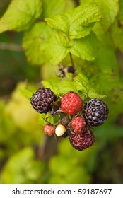 Ripe and ripening berries of blackberry and raspberry hybrid