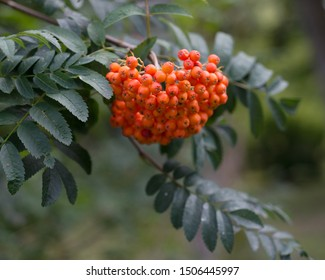 Ripe rowan fruits close-up in nature