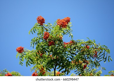 Ripe rowan fruits on the tree with blue sky background (Sorbus aucuparia).