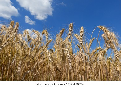 Ripe rye ears against the blue sky with few clouds in closeup