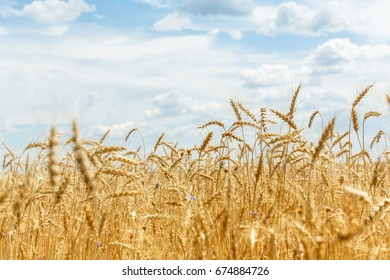 ripe rye ears on a farm  field. Agricultural harvest concept