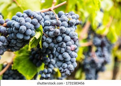 Ripe Sangiovese grapevine closeup in Italy