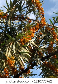 Ripe sea buckthorn on a tree. Blue sky on the background.