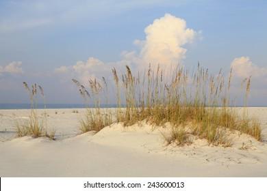 Ripe Sea Oates on a White Sand Florida Beach